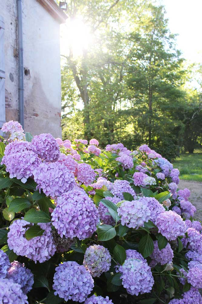 Chateau JAC pink flowers in garden
