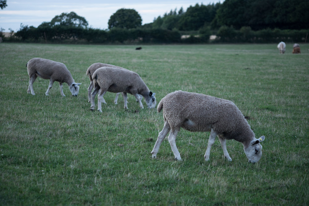Bluefaced Leicester sheep on the farm that will soon be contributing to our wool range.