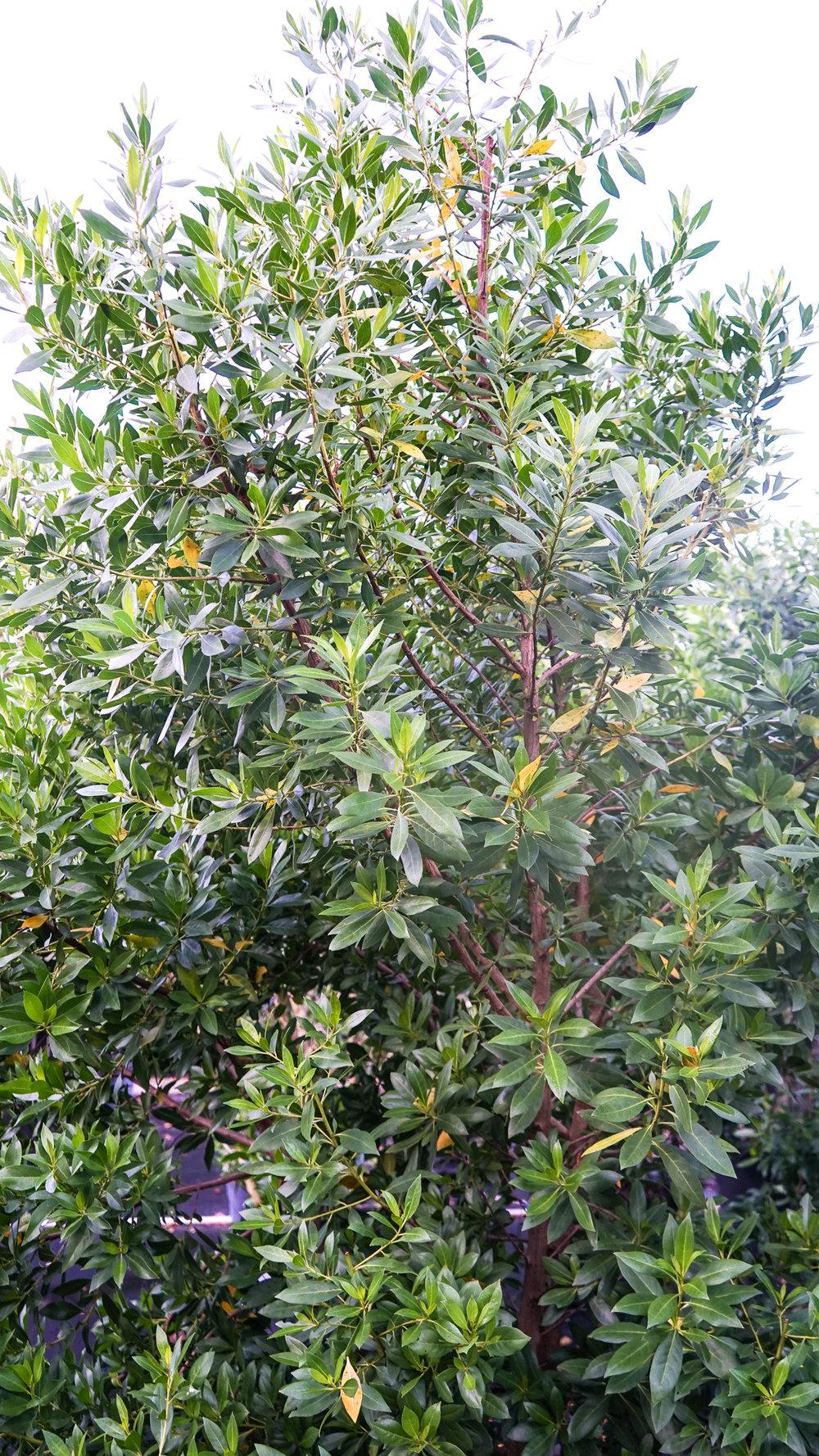 Green Buttonwood Conocarpus Erectus Plant Creations Nursery
