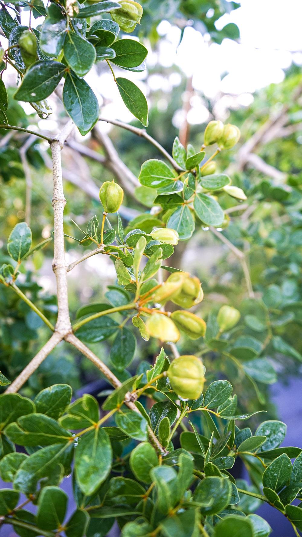 Plant Creations Nursery Roughbark Lignum-vitae Guaiacum officinale