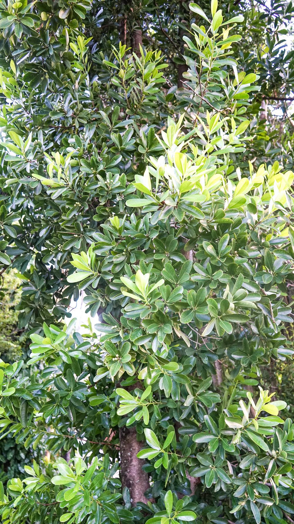 Plant Creations Nursery Wild Cinnamon Canella winterana