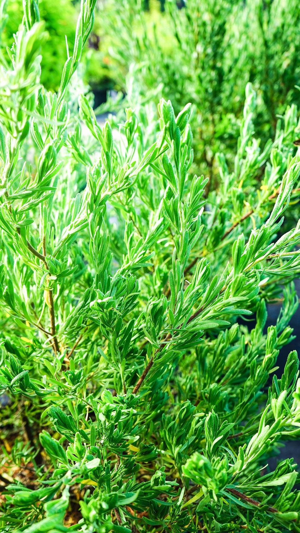 Plant Creations Nursery Bay Cedar Suriana Maritima