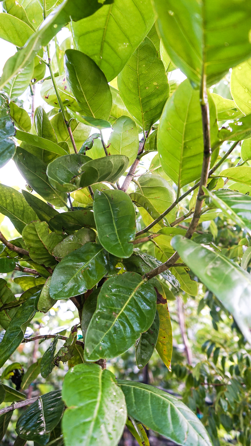Plant Creations Nursery Pigeon Plum Coccoloba diversifolia