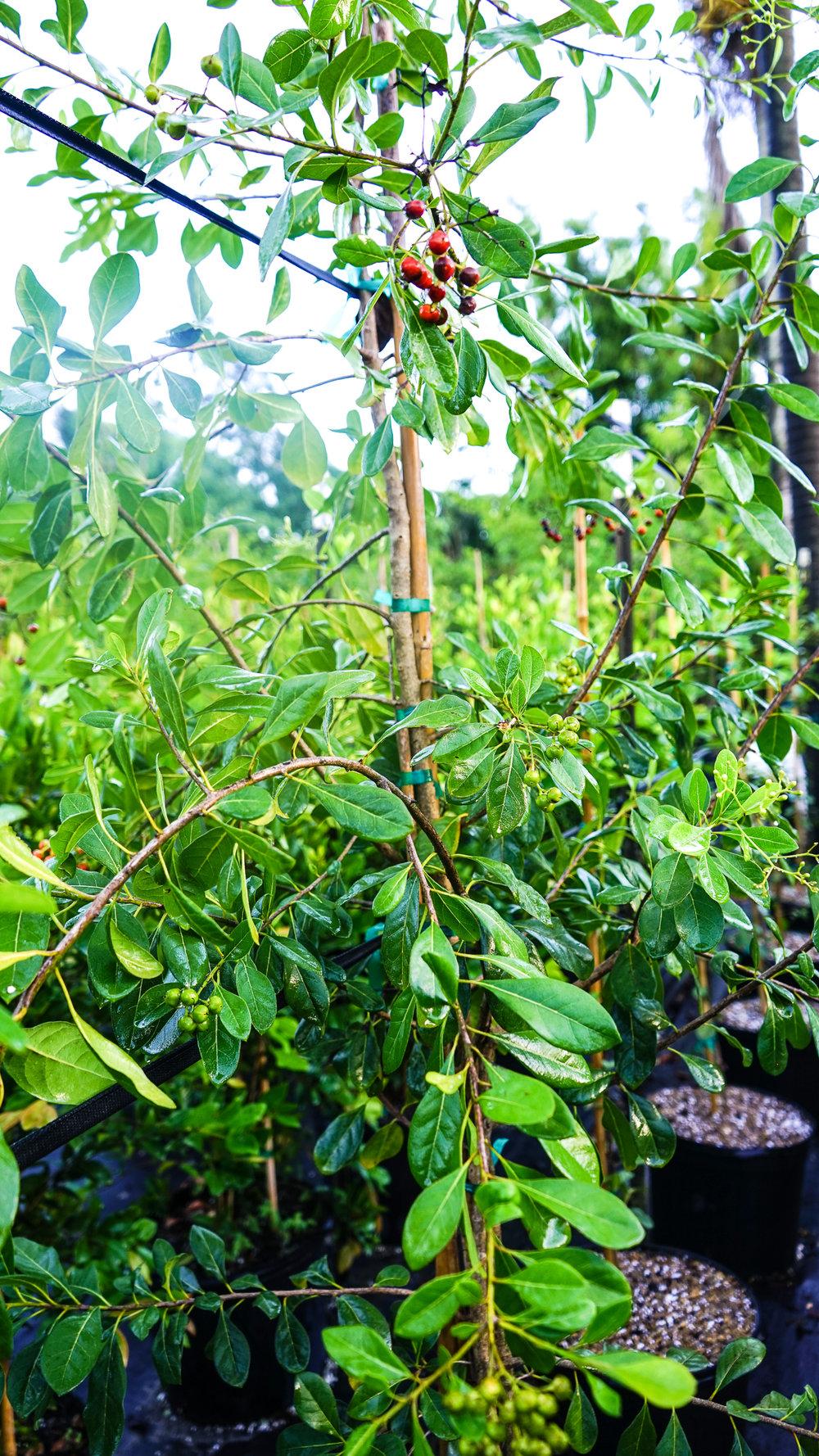 Plant Creations Nursery Bahama Strongbark Bourreria succulenta