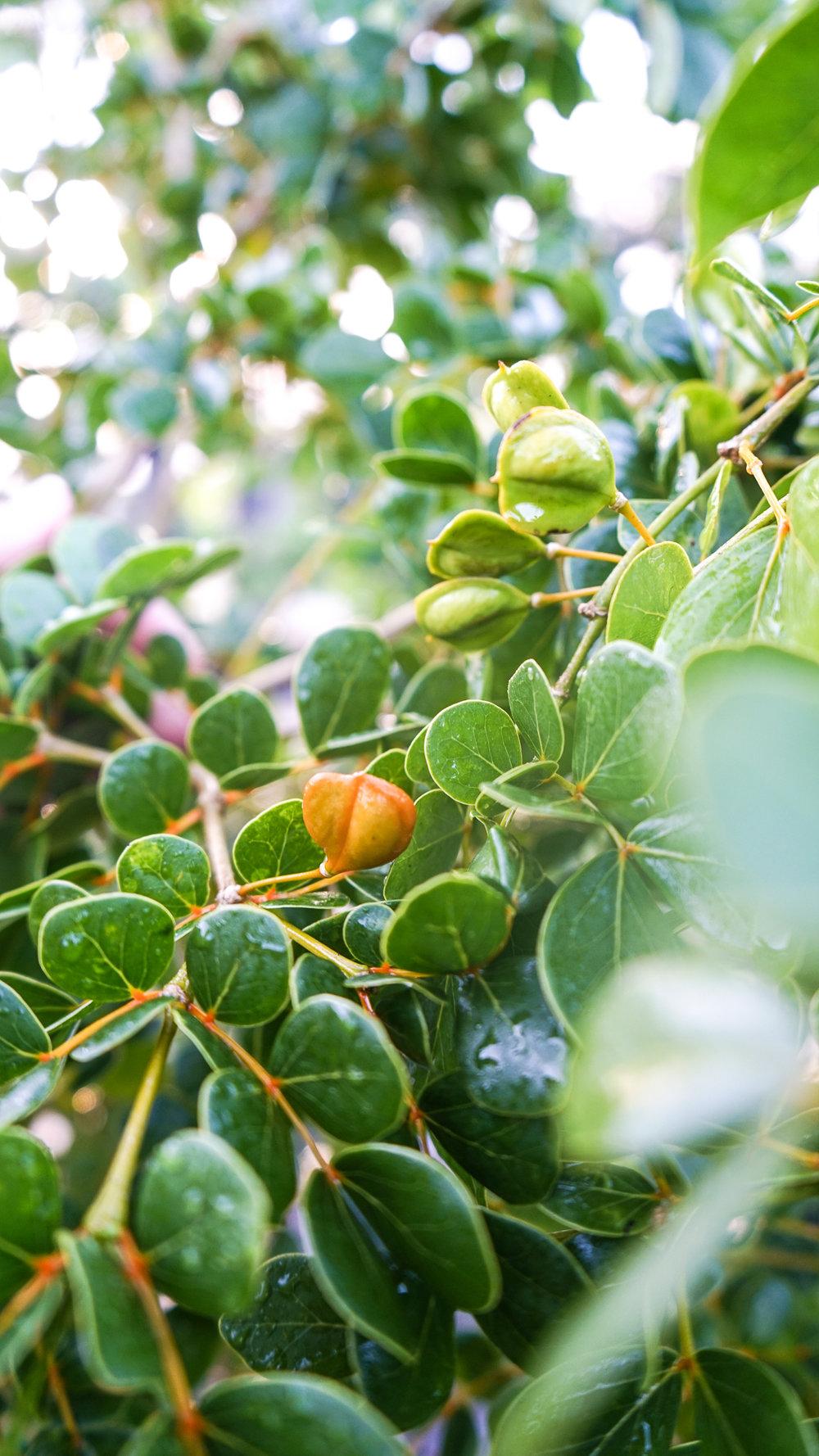 Plant Creations Nursery Roughbark Lignumvitae Guaiacum officinale