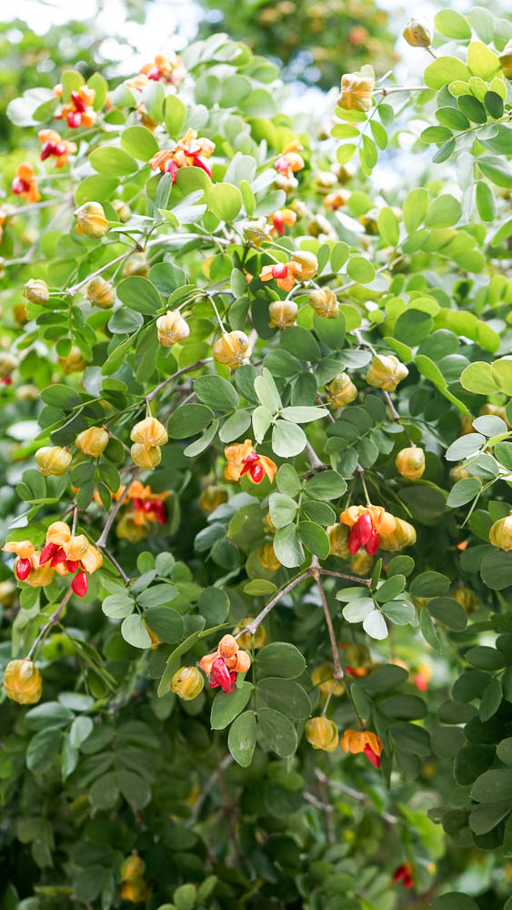 Plant Creations Lignumvitae Guaiacum Sanctum.jpg