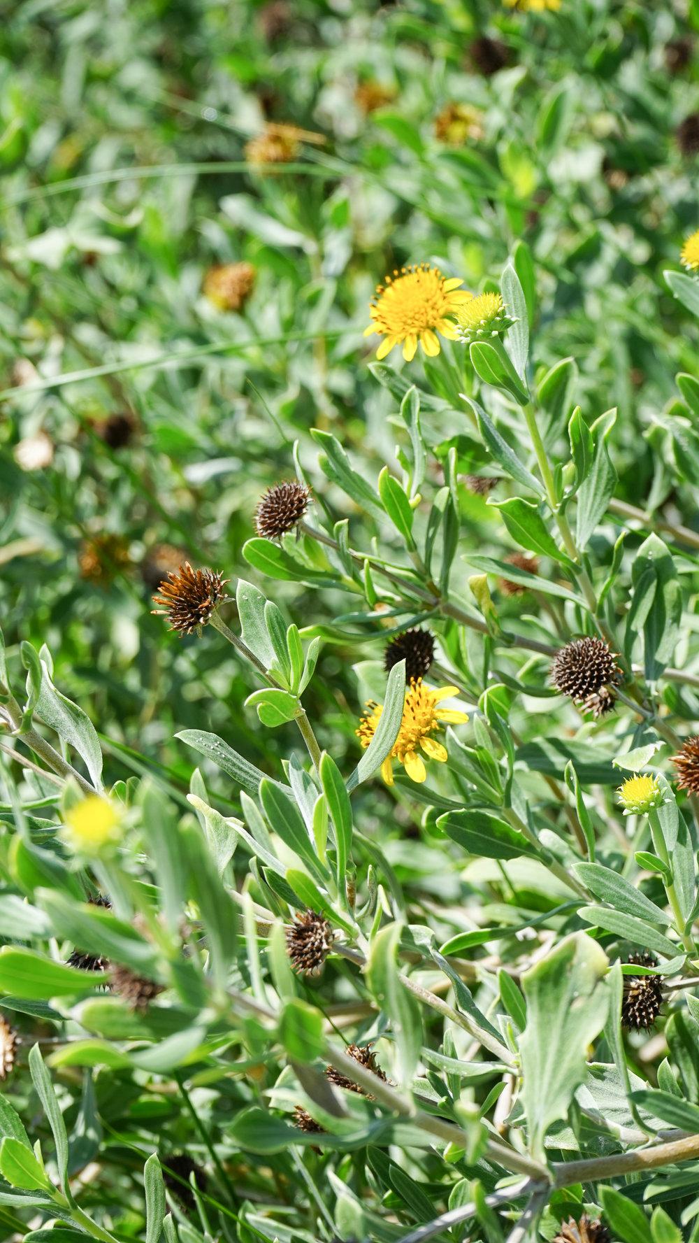 Plant Creations Sea Oxeye Borrichia frutescens