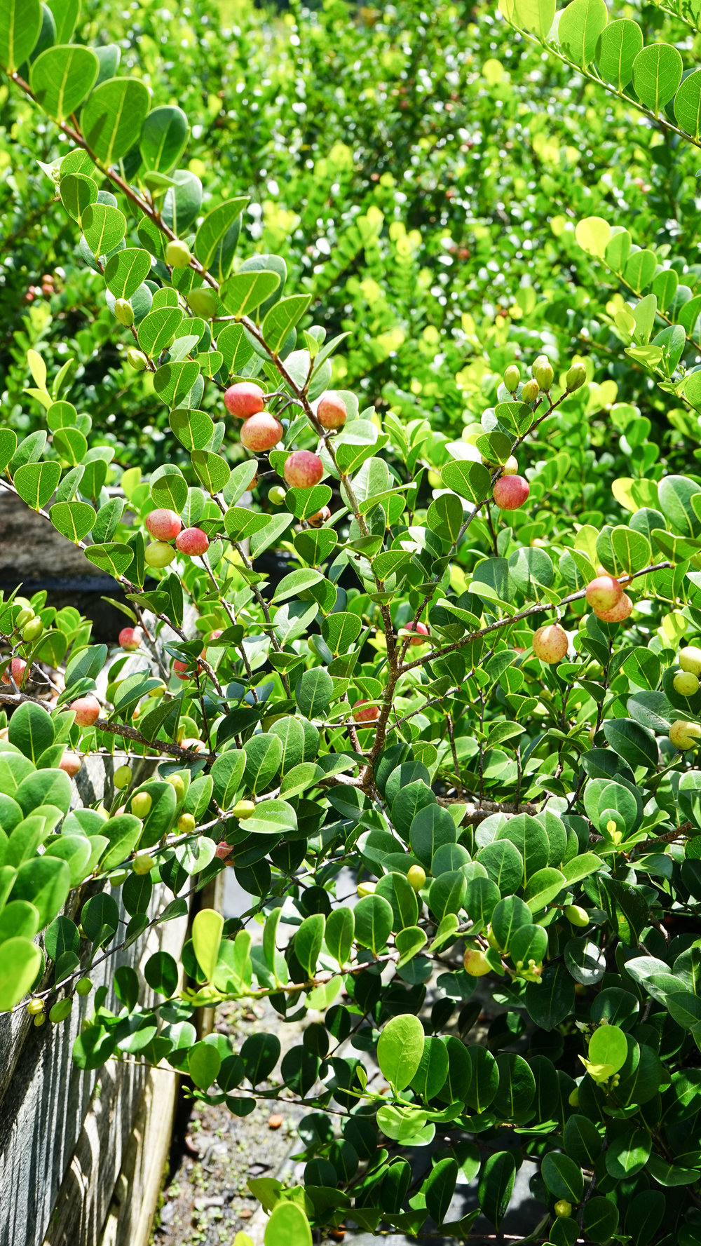 Plant Creations Nursery Cocoplum Chrysobalanus icaco