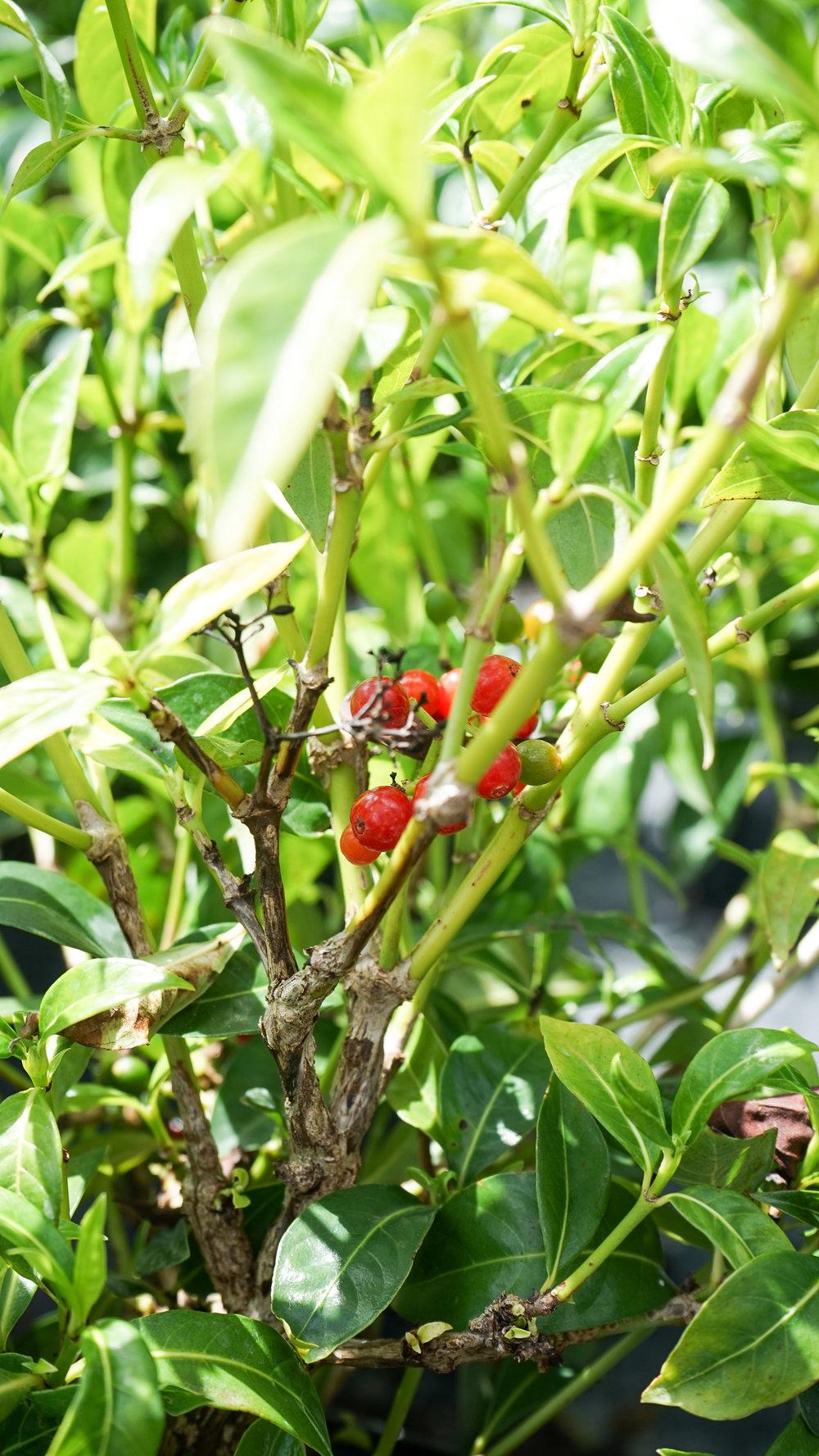 Plant Creations Nursery Bahama Wild Coffee Psychotria ligustrifolia
