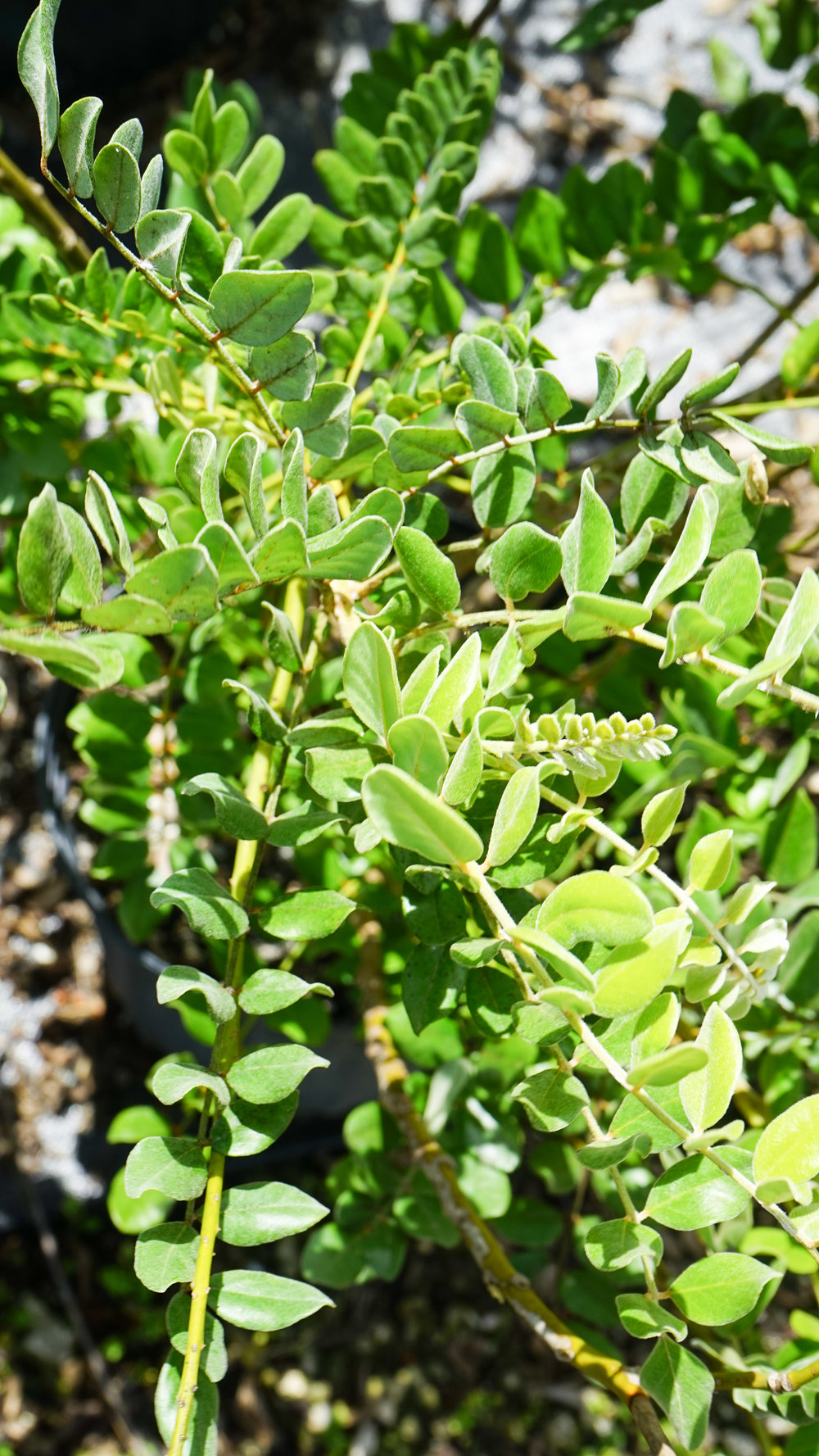 Plant Creations Nursery Necklace Pod (Sophora tomentosa)