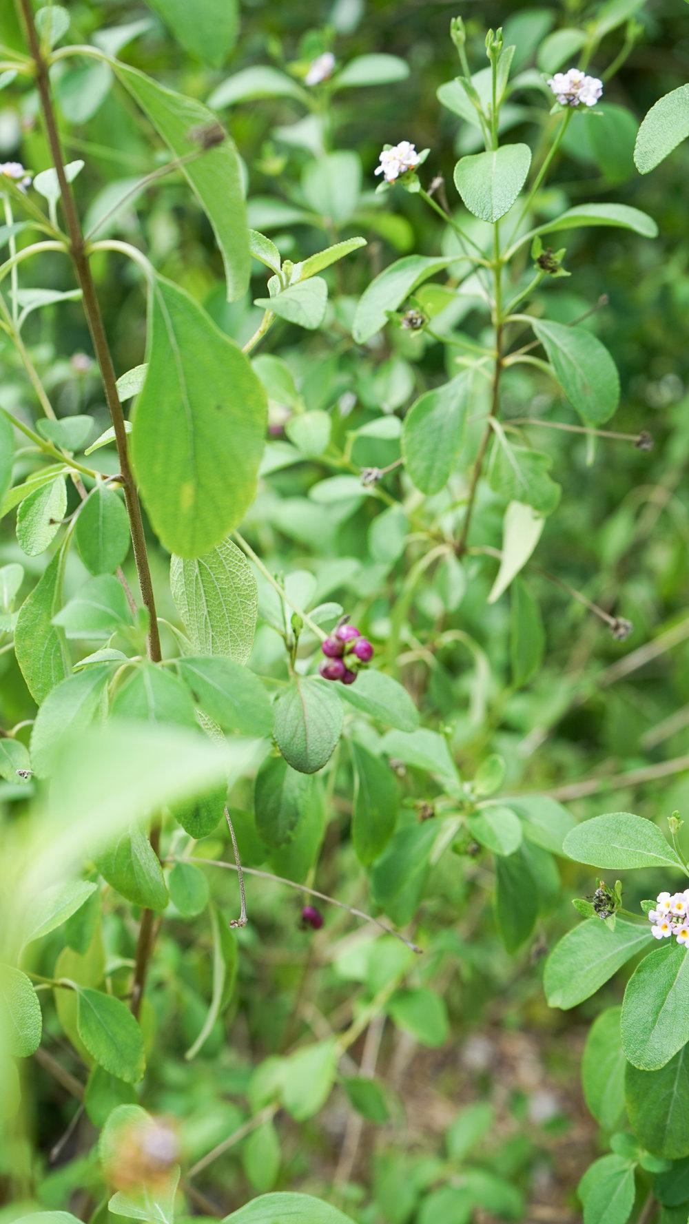 Wild Sage Lantana Involucrata Plant Creations