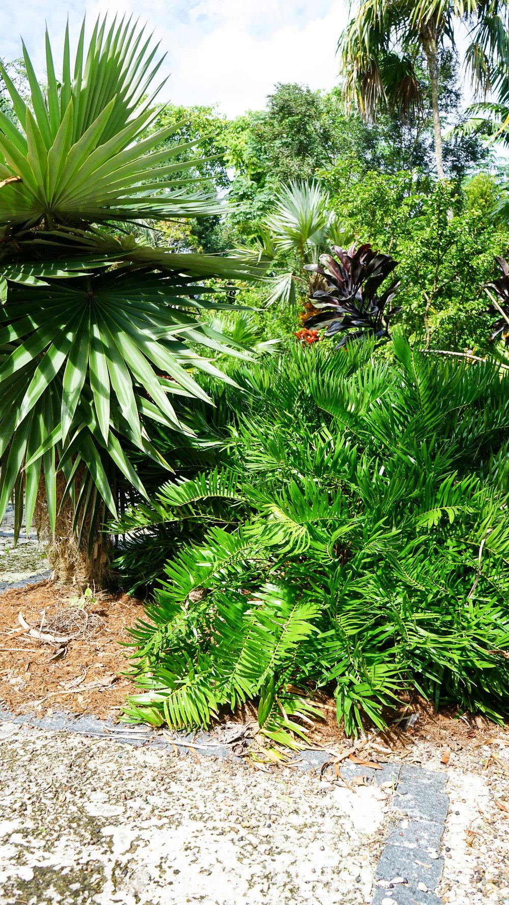 Plant Creations Inc. Nursery  Coontie Zamia pumila