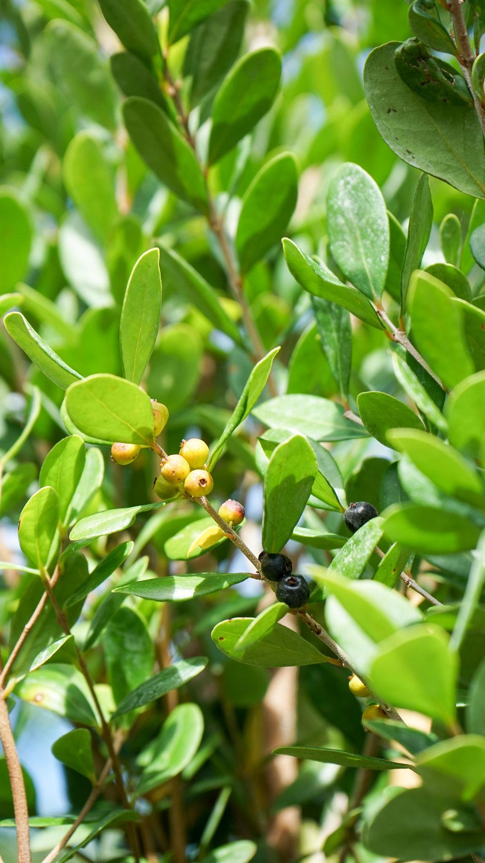 Plant Creations Inc. Nursery  Spanish Stopper Eugenia foetida