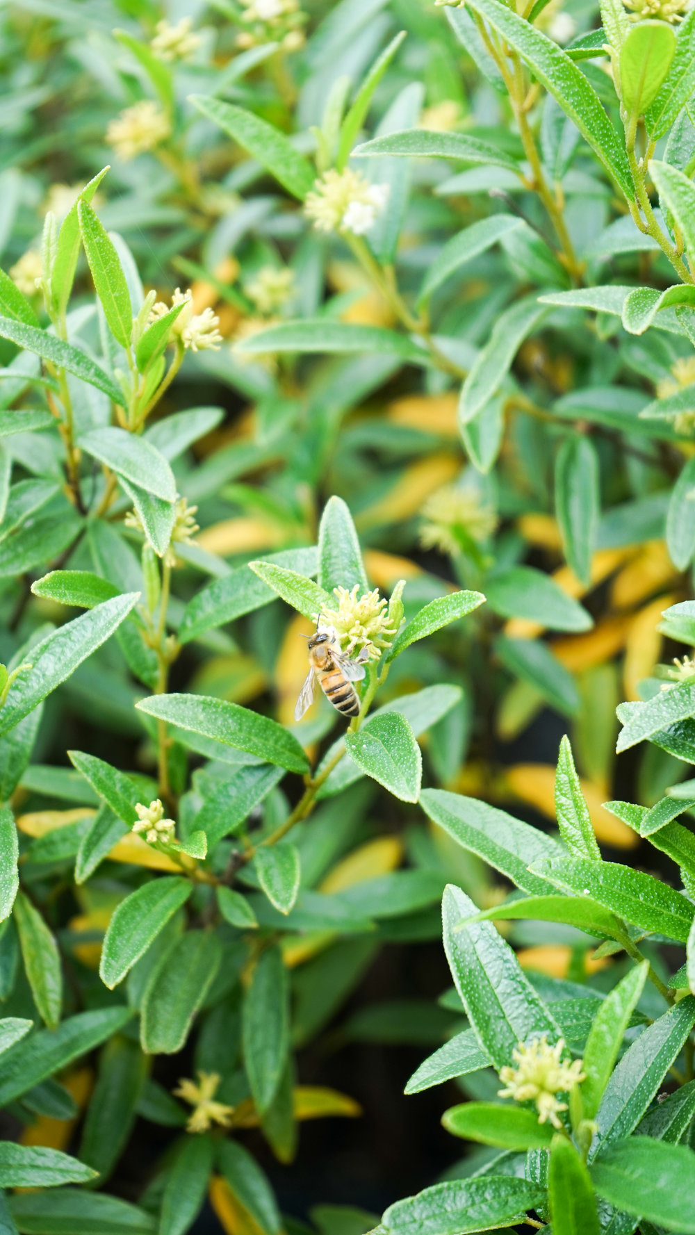 Plant Creations Inc. Nursery Cordia bahamensis Bahama Manjack (1 of 5).jpg