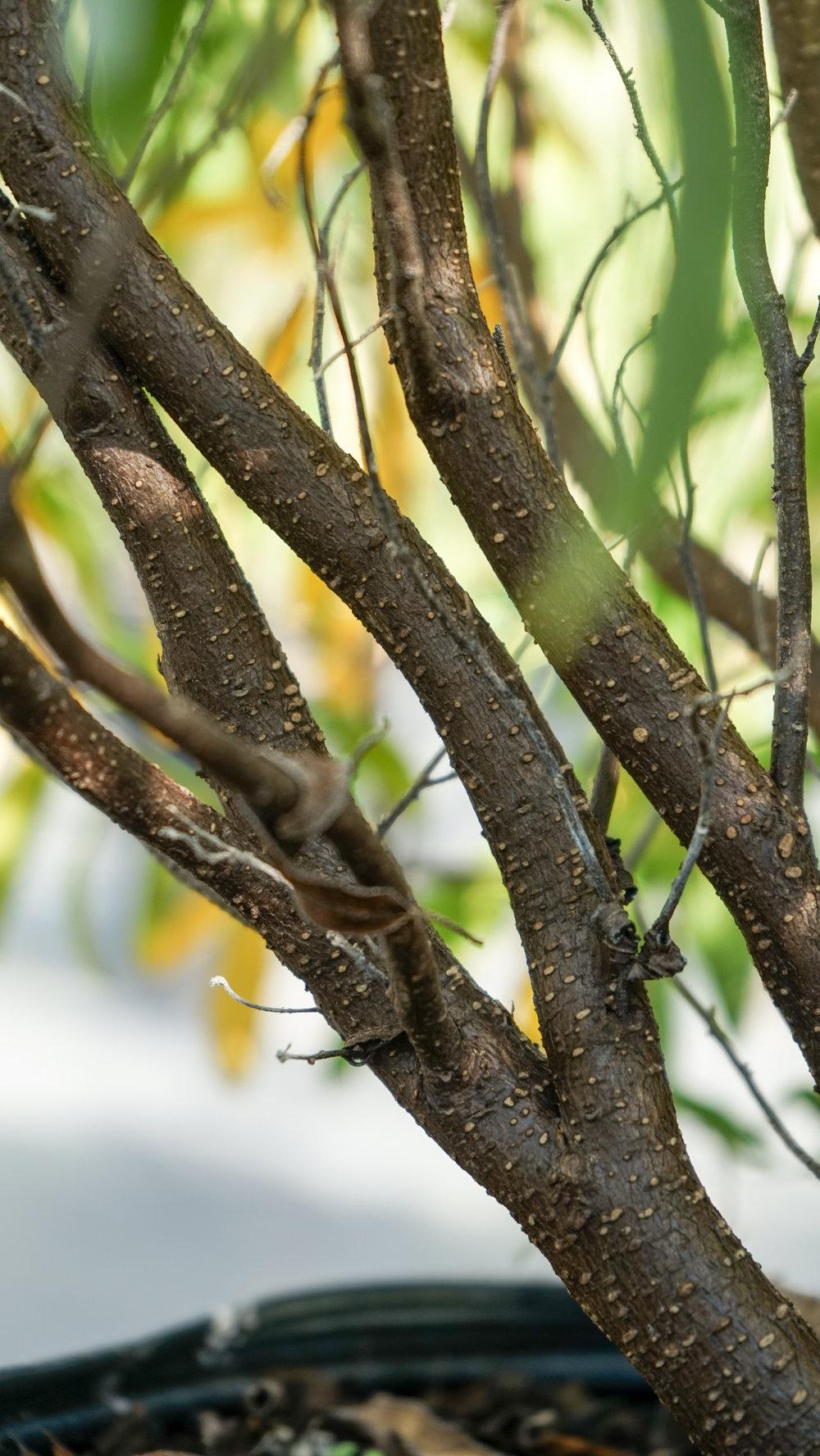 Plant Creations Inc. Nursery Cordia bahamensis Bahama Manjack (3 of 5).jpg
