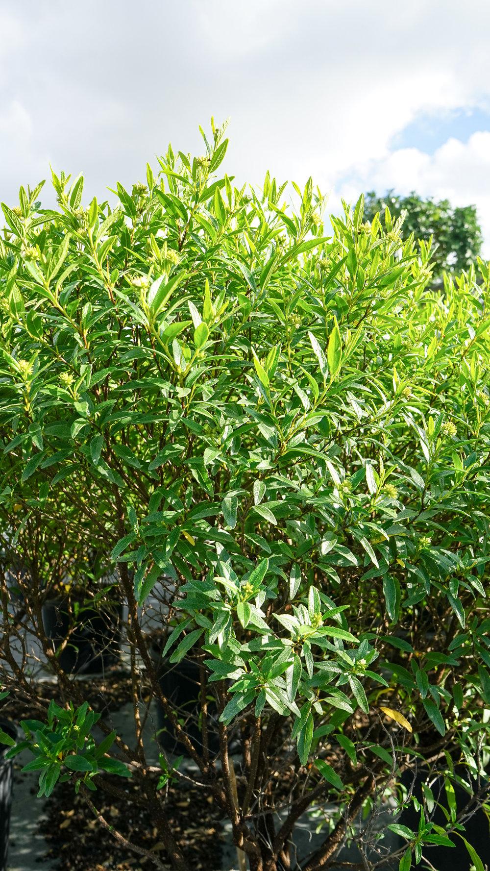 Plant Creations Inc. Nursery Cordia bahamensis Bahama Manjack (4 of 5).jpg