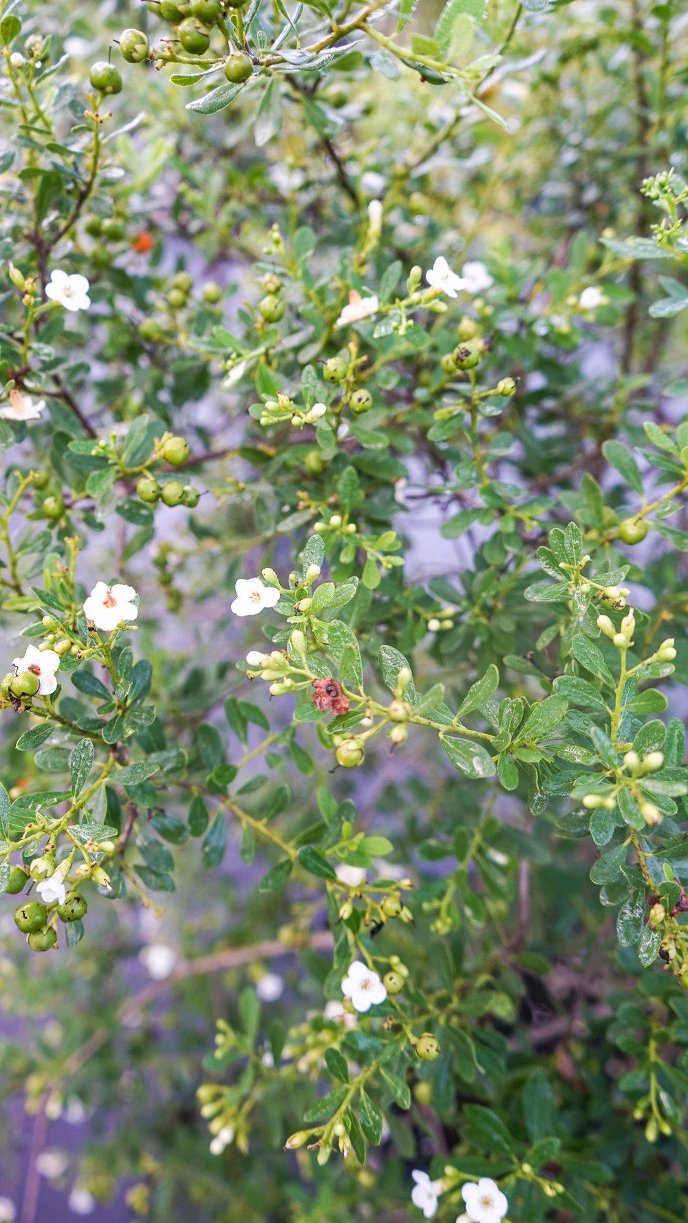 Plant Creations Nursery Bourreria cassinifolia Little Strongbark