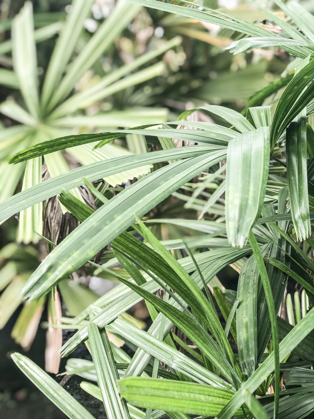 rhapis excelsa Lady Palm Plant Creations Inc 3.jpg