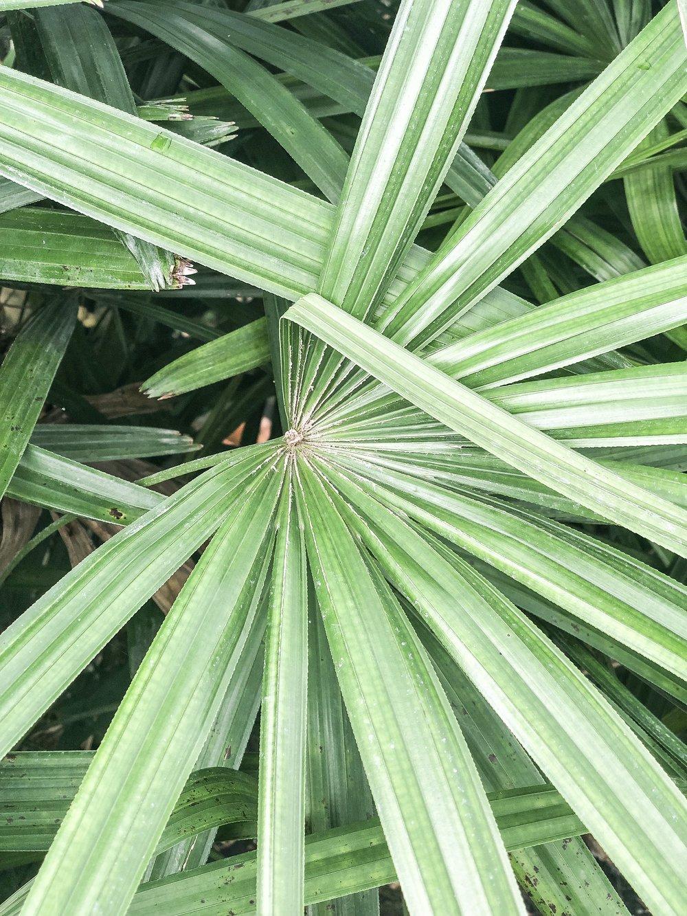 rhapis excelsa Lady Palm Plant Creations Inc 2.jpg