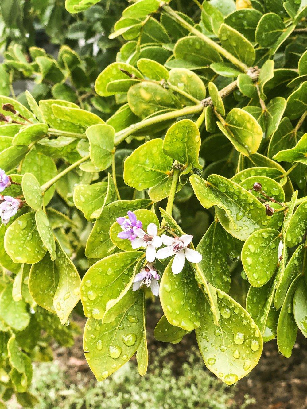 guaiacum officinale lignumvitae plant creations inc..JPG