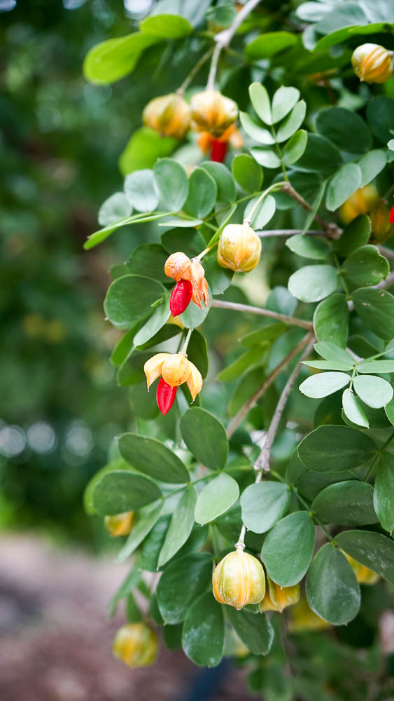 Plant Creations Lignumvitae Guaiacum Sanctum-2.jpg