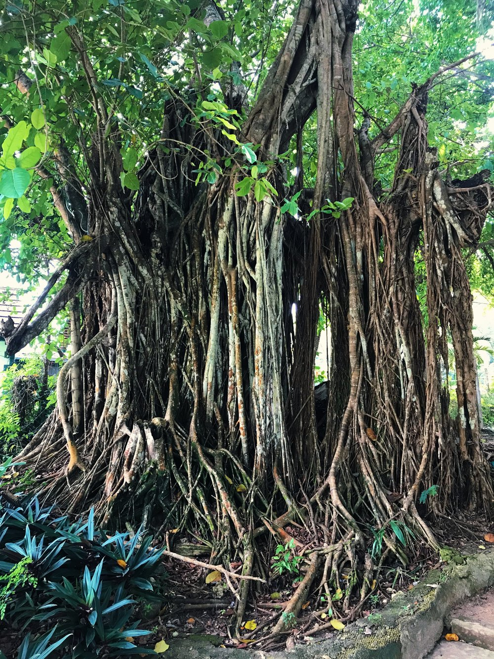 Sacred Trees - Rooted to the island spirit, the trees have stories to tell... Stories older than freedom, that bled in slavery; stories that sang in colonialism and swayed in August independence; stories of tourism and Bob Marley and