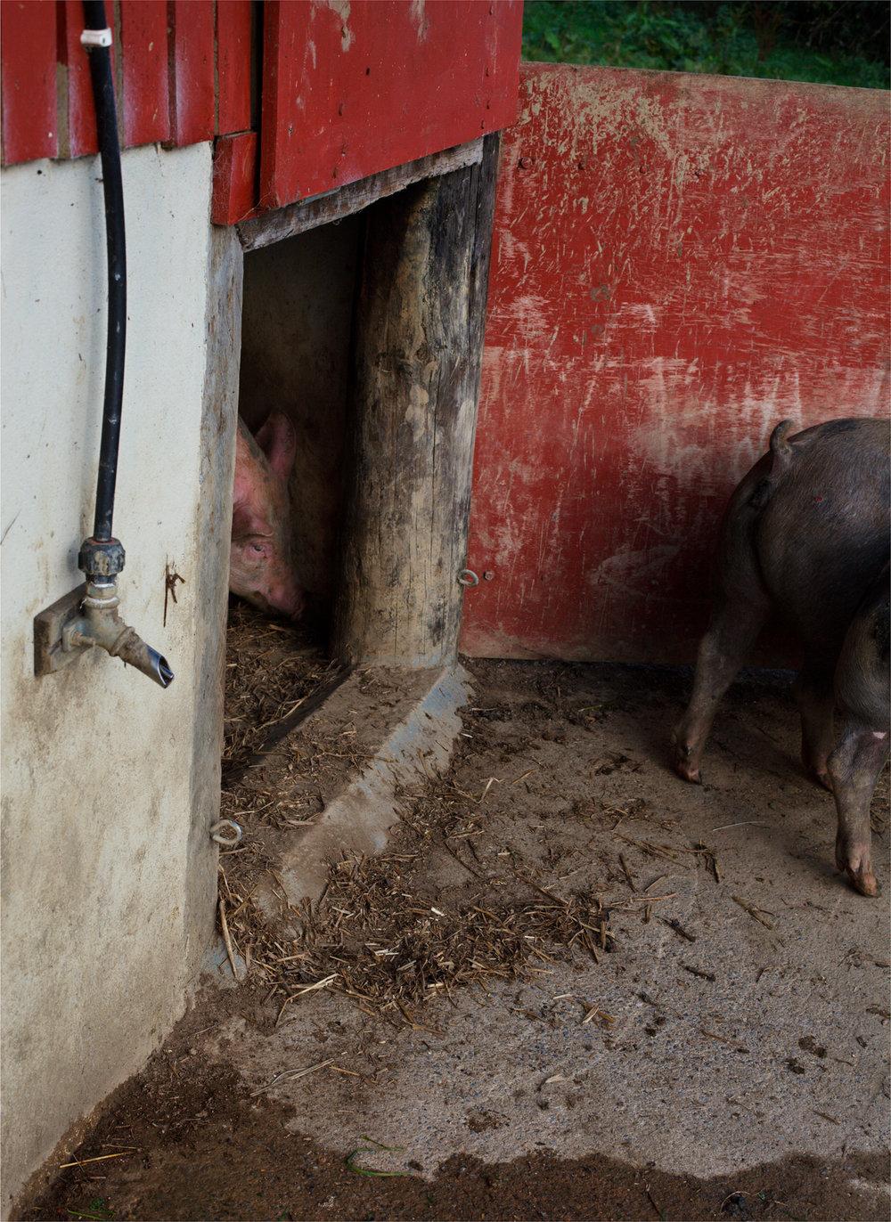 Pig, tail