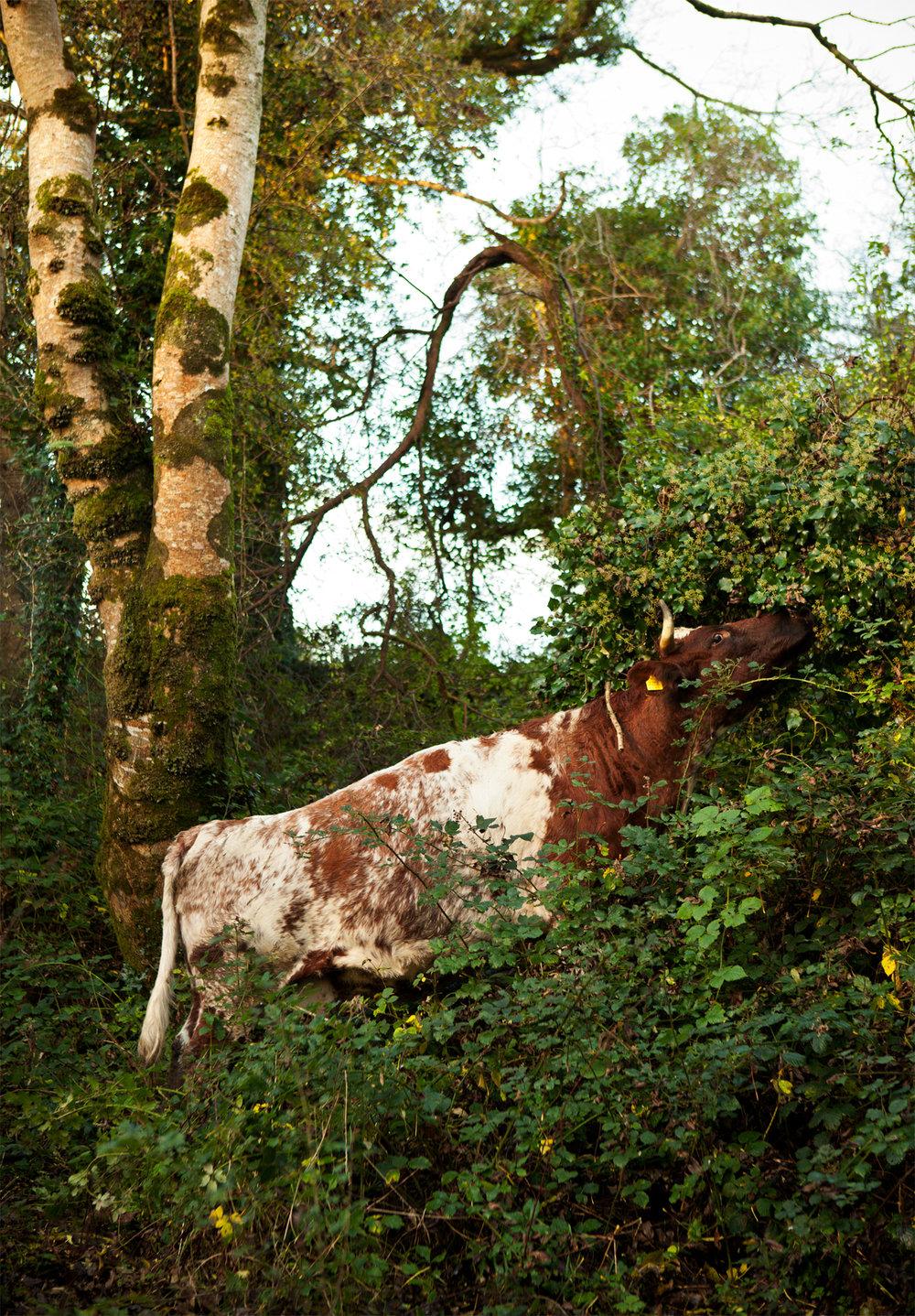 Cow in verdure