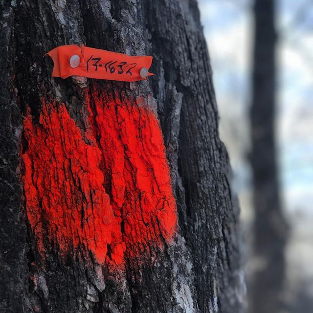 Trees marked for removal in city parks from Dutch Elm disease.  What is the total number of climax, emergent, dominant tree species that are adapted to your region?  How many tree species should be integrated into the primary planting plan for cities? These numbers are the same🌿🌏🏡 #Permaculture #neighborhood #greencity #sustainableyard #urbangarden #homestead #tree #diversity