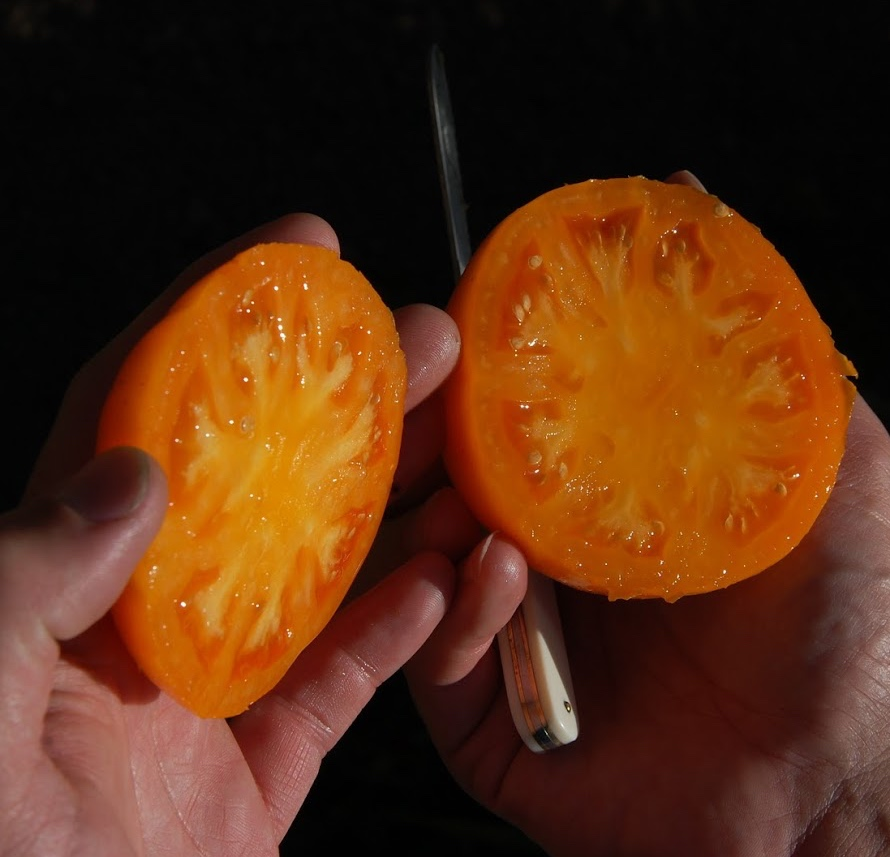HGSA field trials tomato copy.jpg