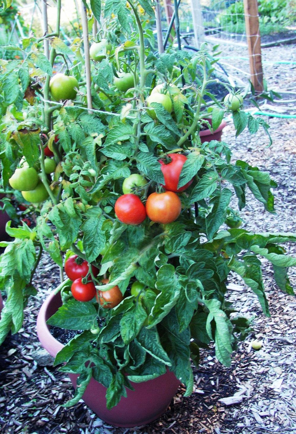 'Super Bush' hybrid tomato was bred to be compact.