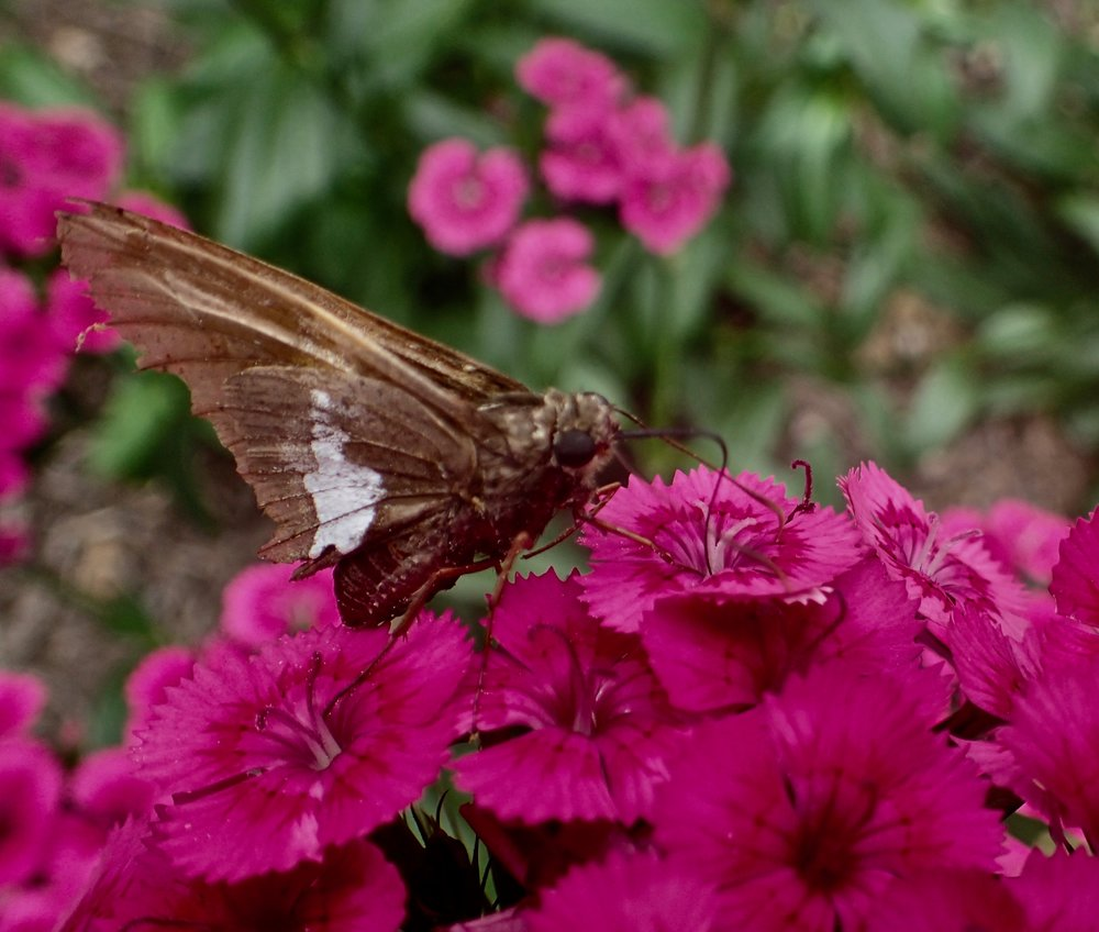Heirloom flowers such as Sweet William, Love-in-a-Mist, and Love-Lies-Bleeding offer romance, drama, and fragrance to the garden, and they draw pollinators!