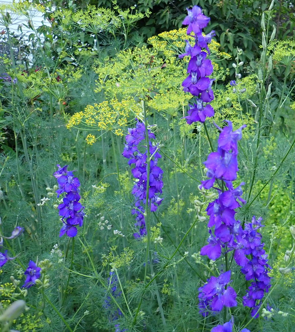 Larkspur and dill bloom in unison in early summer. Both are easy to grow by sowing seed directly in the garden.