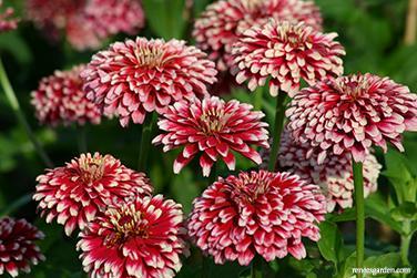 Renee's zinnia-summer-pinwheels.jpg