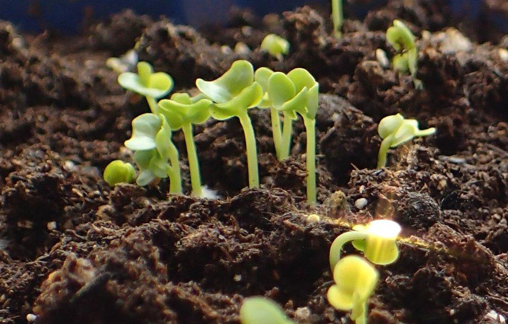 lettuce seedlings 2 copy.jpg