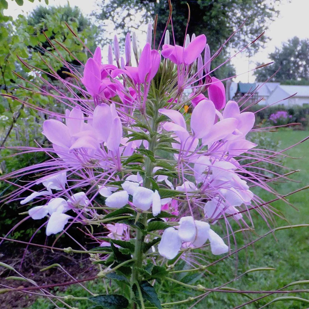 Cleome reduced size.jpg