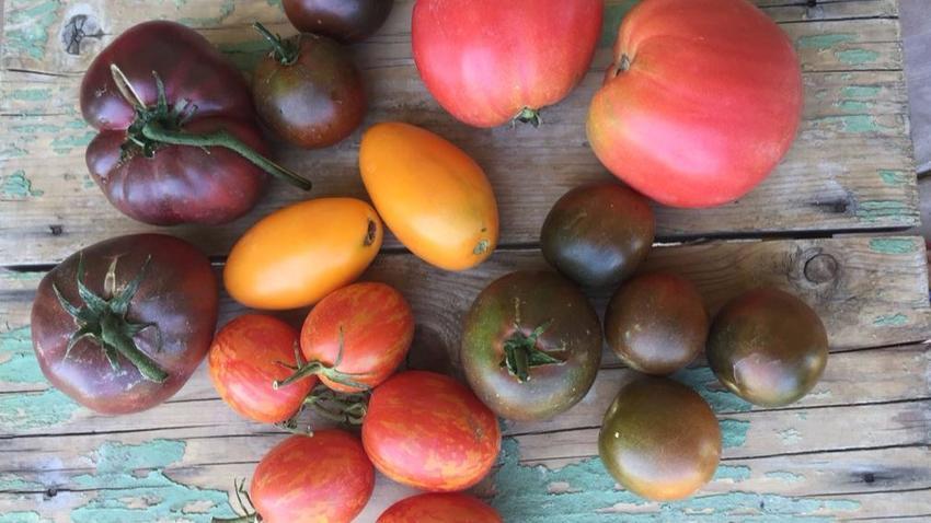 multi colored tomatoes.jpg