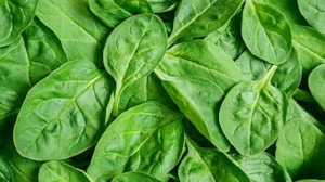 Flat leafed spinach, pictured above, is one of three varieties of spinach.