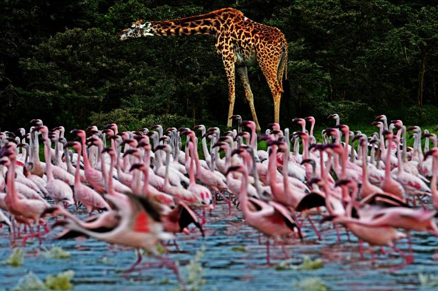 I want to see the Flamingos at Lake Nakuru in Kenya. Image: mnn