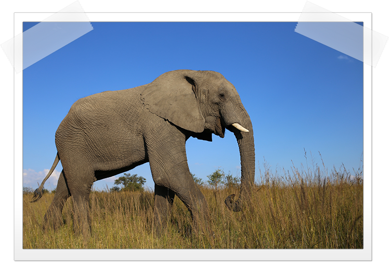 elephant-sideview.png