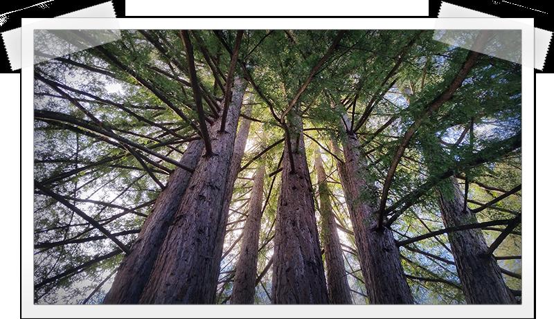 mount-hermon-redwoods.png