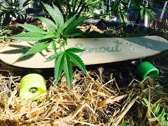 The hemp composite skateboard and the plant from which it is made. Thanks for the submission keep them coming!  #sustainable #hemp #skate #california