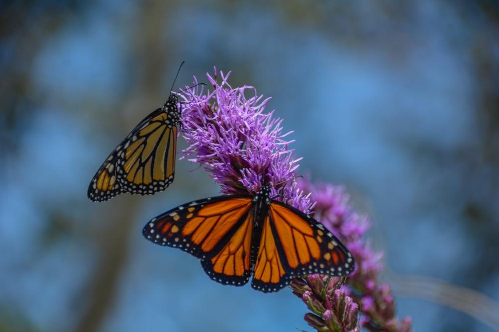 Buena Vista Butterfly Release 2014-21.jpg