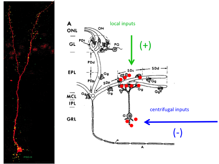 Subcellular distribution of synaptic inputs and integration of neurons into circuits (left) Granule cells in the olfactory bulb have neurotransmitter receptors in the apical (top) and basal (bottom) dendrites.    Recent evidence suggests that the inputs directed to the apical dendrites favors the survival and integration of new neurons into the bulb. In contrast, the input directed towards the basal dendrites impairs the integration of new neurons. We are currently investigating the molecular basis for this differential effect of these 2 subcellular compartments on the neuron's survival.