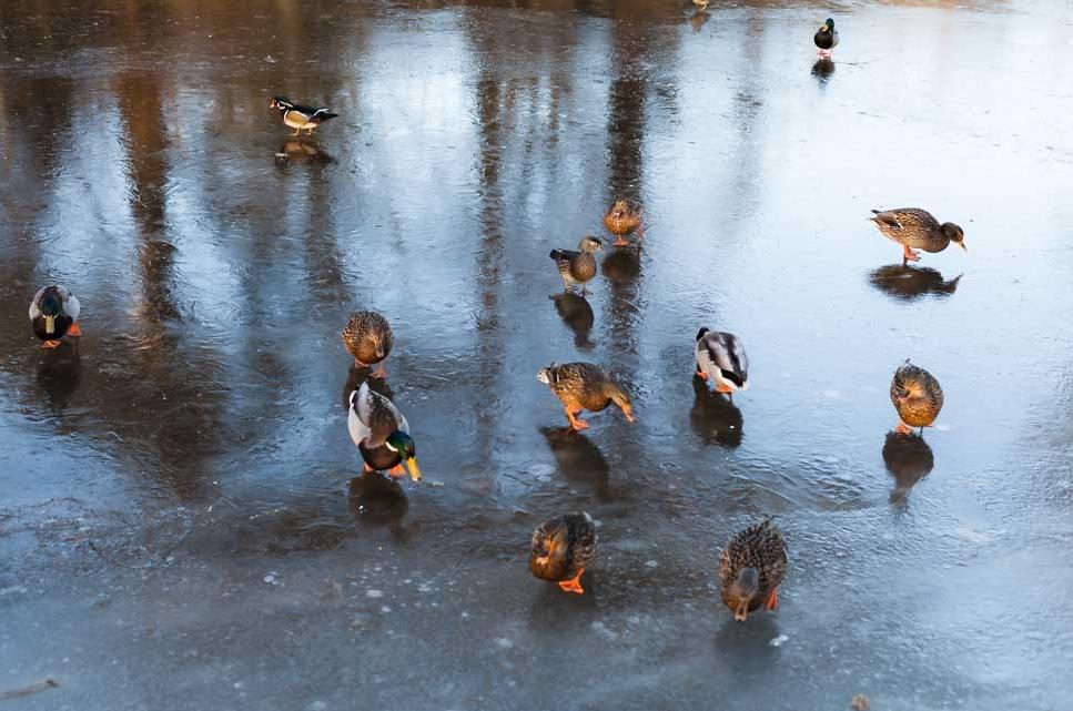 Ducks on the ice at the Reifel Bird Sanctuary