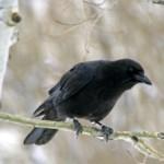 crow_american