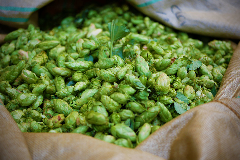 SGB Hop Harvest P1010490 Astra.jpg