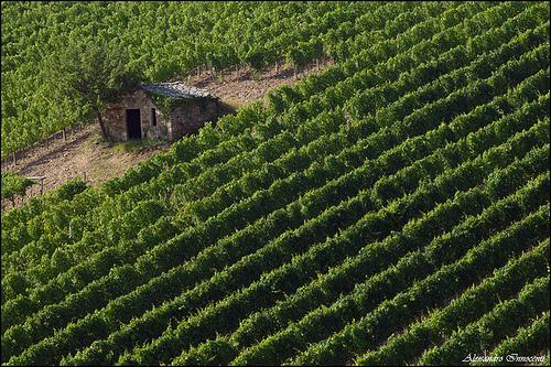 vigne-brunello-montalcino.jpg