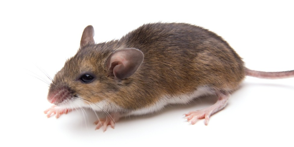 White_Footed_Mouse.jpg