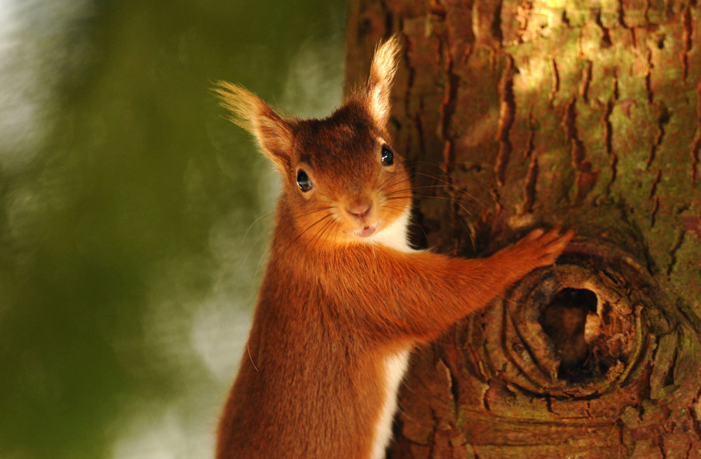 nh_red_squirrel_cmcn_1277.JPG